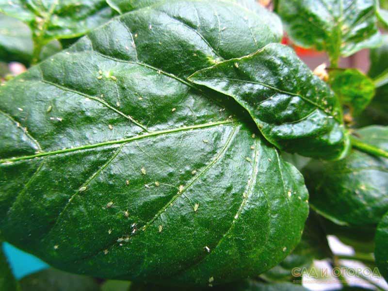 Тля на тепличных перцах встречается очень часто, так как эта овощная культура весьма чувствительна к поражению некоторыми видами этого насекомого