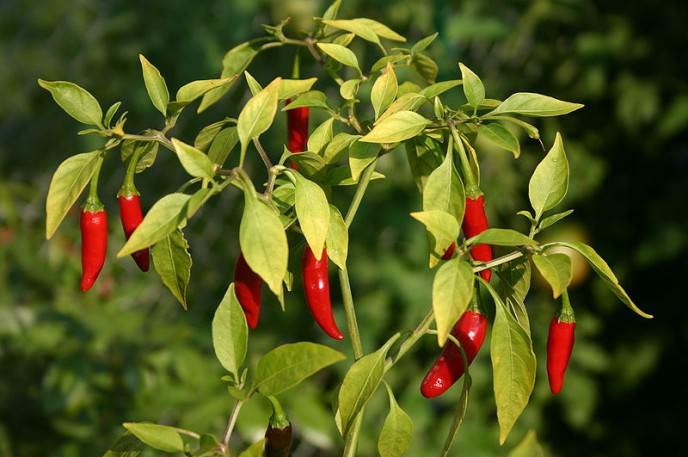 Выращивание тепличного или комнатного горького перца начинается с правильного подбора сорта этого растения