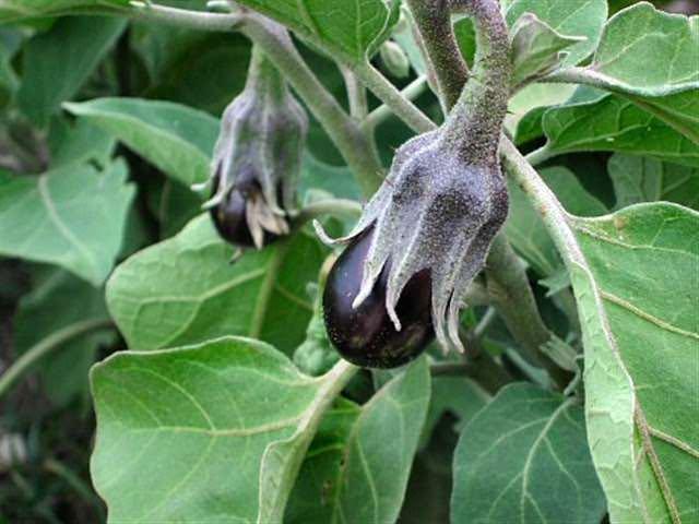 После начала появления плодов в грунт добавляется настой сорняков в соотношении 1 : 5