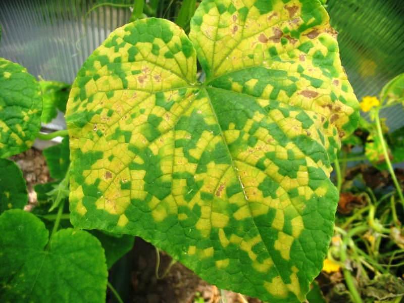 Переизбыток фосфора ведет к общему пожелтению, появлениям ярких некротических пятен и опадению листьев