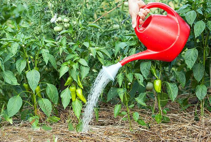 Ручной полив самый простой и не самый удобный способ полива перцев, выращиваемых в тепличном сооружении. Как правило, предполагается применение различных леек, шланга и ёмкостей с водой