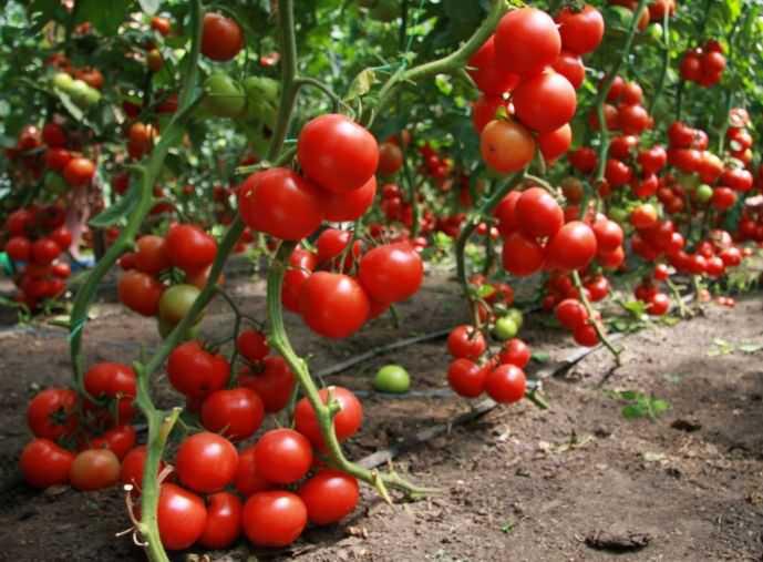 Посадка современных гибридов способна значительно облегчить труд огородника по уходу и проведению защитных мероприятий