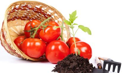 Выращивать помидоры в открытом грунте – занятие рискованное