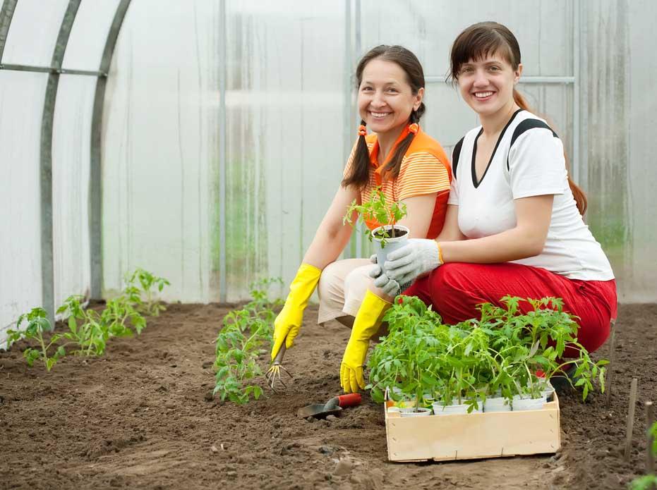 Когда у рассады сформируются настоящие листочки, садим повзрослевшие помидоры в теплице. В грунте выкапывают лунки глубиной не менее 5 см. Высаживать рассаду необходимо максимально аккуратно, стараясь не повредить корневище