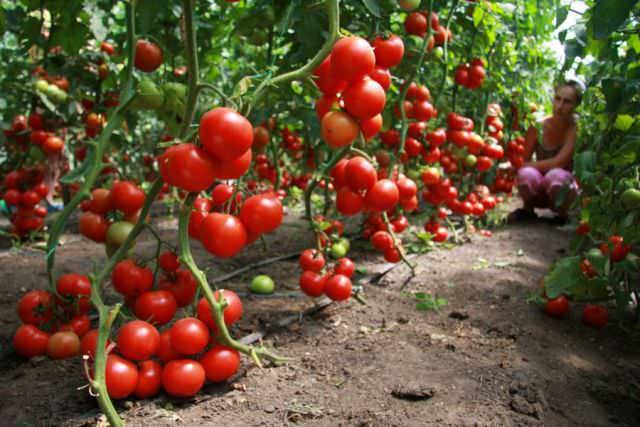 В теплице необходимо осуществлять искусственное опыление, что позволит увеличить урожайность помидоров в разы