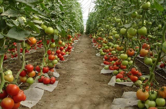 Помидоры отличаются длительным периодом вегетации