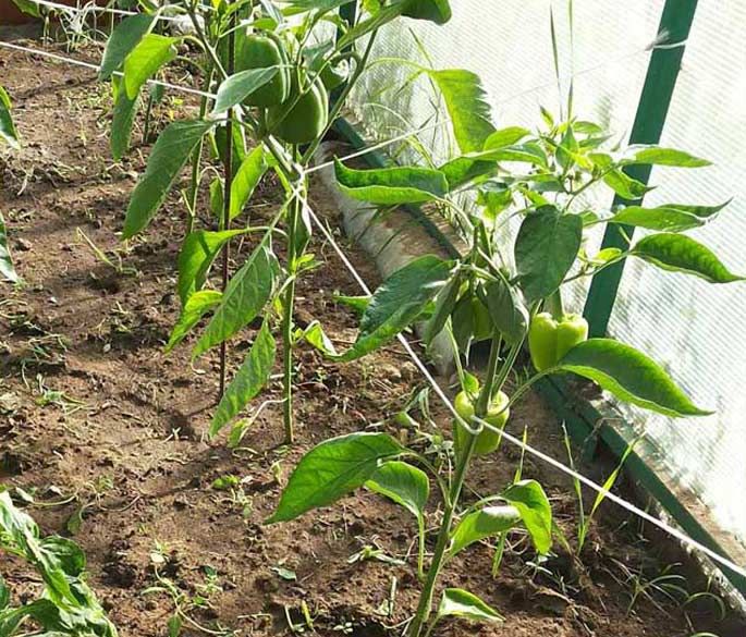 Если сорт ветвистый, его придется подвязывать. Часто для таких разновидностей требуется специальная опора, чтобы куст не сломался под тяжестью плодов