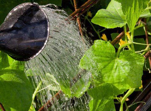 При недостаточном или неправильном поливе снижается тугор и огурцы теряют упругость, сочность и вкусовые качества