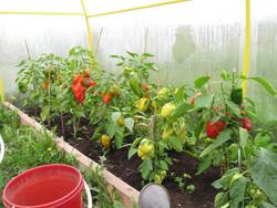 Выращивание болгарского перца в теплице