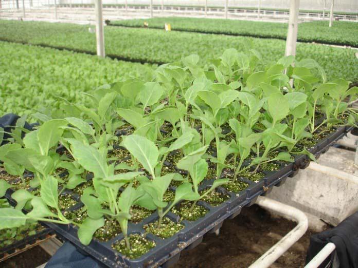 При культивировании капусты в условиях защищённого грунта, требуется применять рассадный способ
