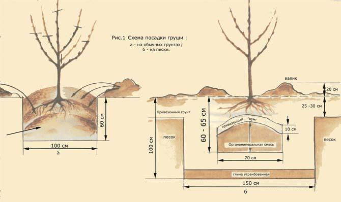Высаживать сорт «Любимица Яковлева» можно и весной, и в осенний период