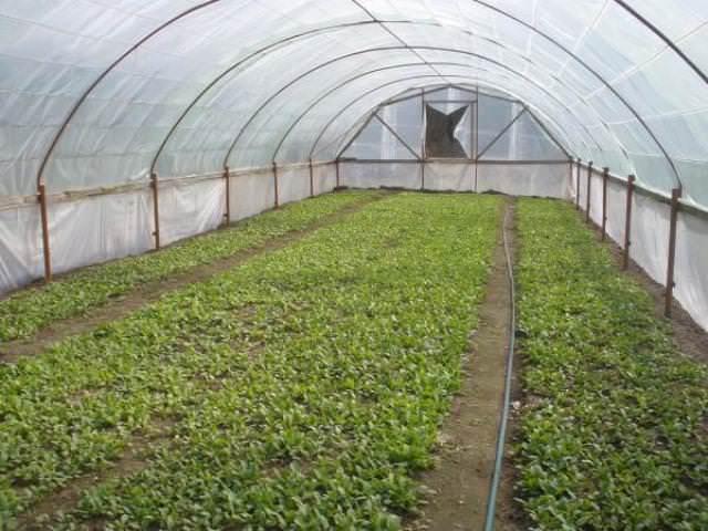 Выращивание редиса в теплице лучше всего производить в осенне-весенний период, а именно – с сентября по ноябрь или с февраля по апрель