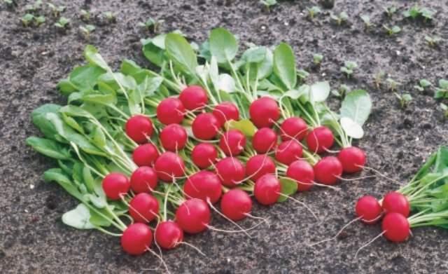 Так как редиска – овощ весьма влаголюбивый, лучше подбирать рыхлый грунт, который сможет впитать достаточное количество воды