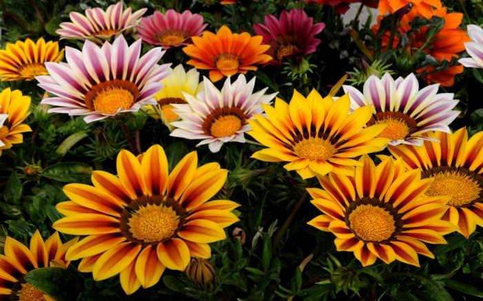 Гацания бывает различных цветов