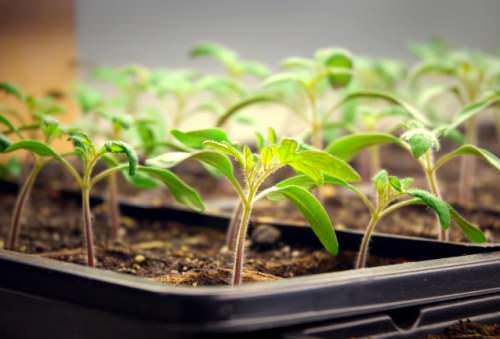 В марте следует провести основные посевные работы, чтобы получить здоровый и качественный рассадный материал