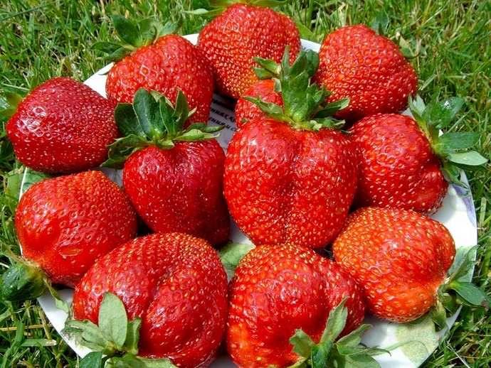 Сорт «Елизавета-2» востребован в нашей стране благодаря необыкновенно вкусным ягодам и стабильной урожайности