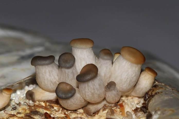Температурный режим в теплице должен составлять не выше 28°С на этапе прорастания и 17°С – на этапе появления первых грибов