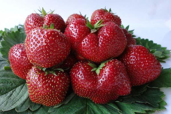 Плодоношение сорта Вима Тарда приходится на первую половину июля