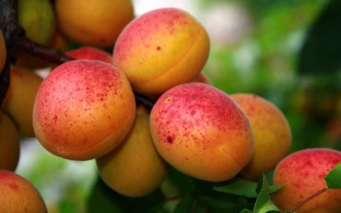 На сегодняшний день существует значительное количество зимостойких и морозоустойчивых сортов абрикосов