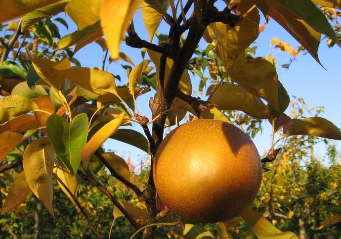 Внесение питательных веществ в осенний период позволяет грамотно и в максимально короткие сроки подготовить садовые растения к предстоящему зимнему периоду