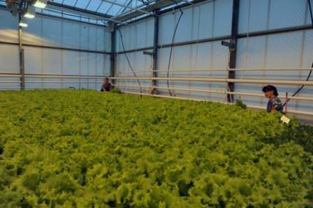 Для того чтобы добиться постоянного урожая салата, засев выполняется каждые 14 дней