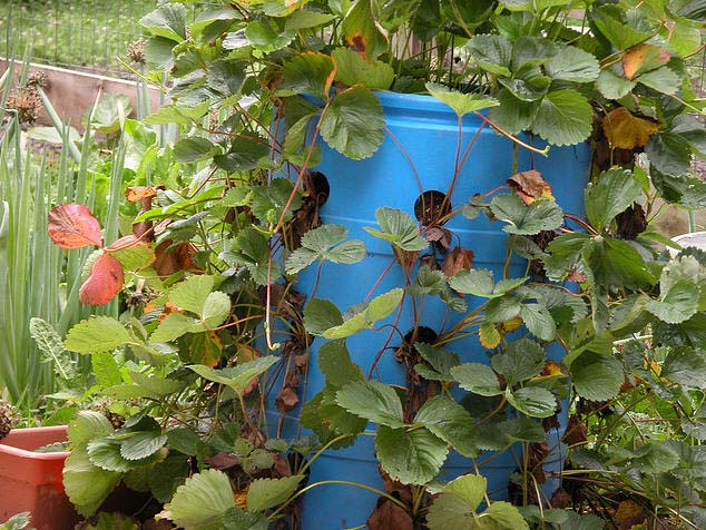 Выращивать клубнику в бочках легче и прибыльнее, чем на земле
