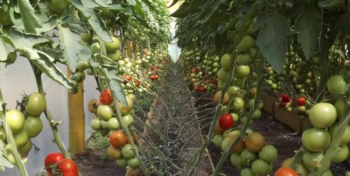 Для нормального роста томатов необходима температура от 18 до 24°С в зависимости от фазы развития
