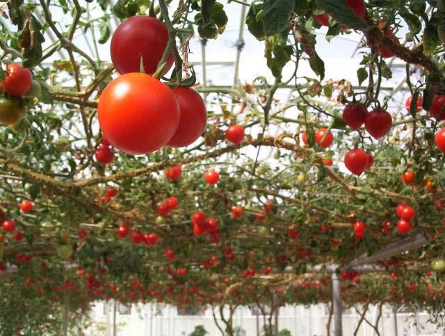 Стоит отметить, что благодаря особенностям конструкции, внутри теплицы достаточно легко поддерживать оптимальный микроклимат, который необходим для выращивания большинства огородных культур