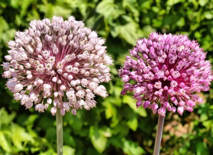 Семена лука-порея могут сохранять всхожесть до трех лет