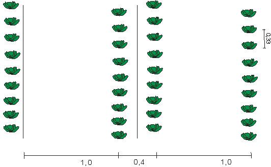 Стандартное расстояние между высаженной рассадой капусты должно быть не менее тридцати сантиметров