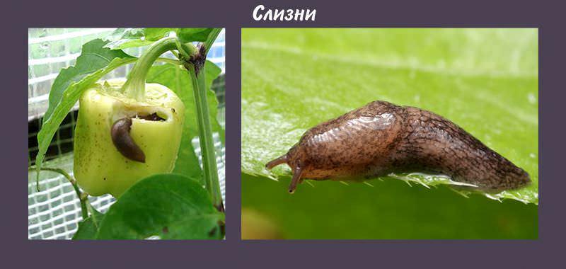 Вредители не только обгрызают плоды и растения, но и переносят различные инфекции. Поэтому если насекомые повредили растение хотя бы немного, культура погибнет