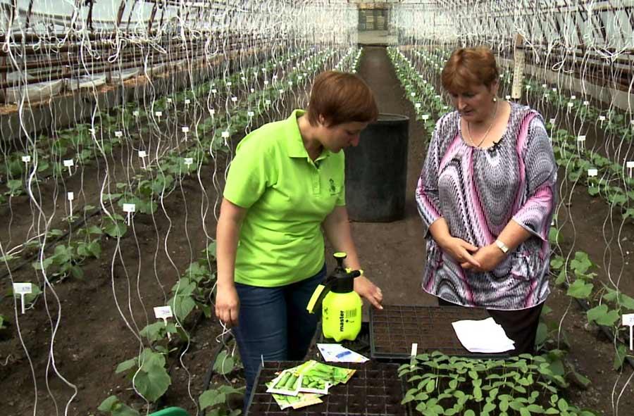 Чтобы понять, какие именно семена следует приобрести, следует учитывать не только отзывы опытных огородников, но и ознакомится с основными характеристиками этой овощной культуры