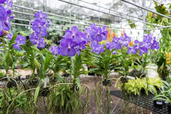 Орхидейная теплица – особый вид парниковых конструкций, основным предназначением которых является выращивание цветущих растений