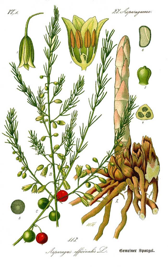 Перед тем как вырастить спаржу, следует получше узнать биологические особенности этого растения из семейства спаржевых