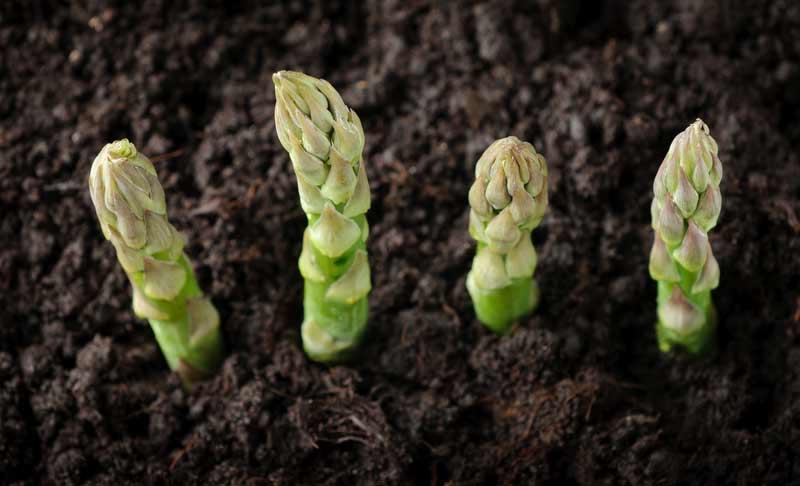 Выращивать спаржу на даче не слишком сложно, однако это растение имеет одну особенность, которая заключается в длительном ожидании первых деликатесных плодов