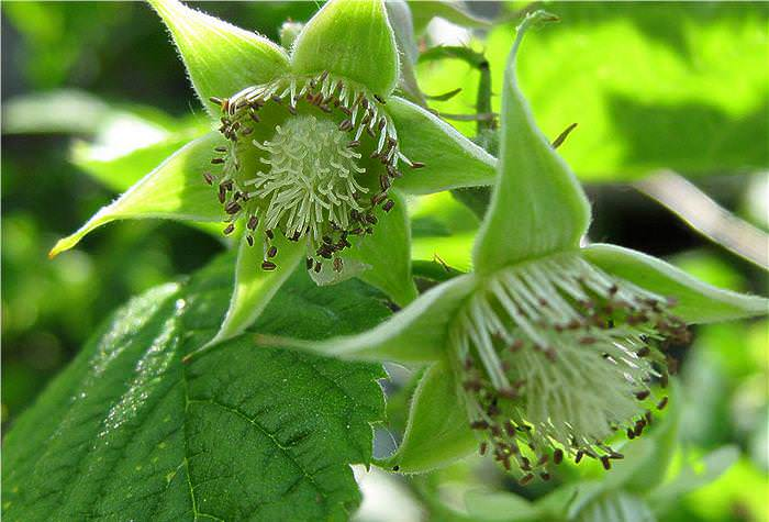 Ремонтантная малина Джоан Джи обладает очень продолжительным периодом плодоношения