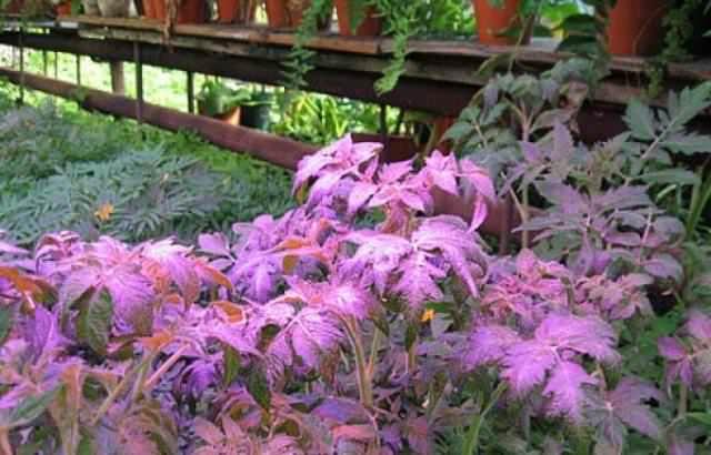 Чтобы растения в теплицах лучше росли, им нужно правильное освещение, содержащее преимущественно два цвета спектра: синий и красный