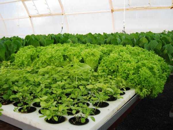Бизнес по выращиванию зелени в теплице предполагает некоторые расходы. Но затем доходы оправдают все вложения