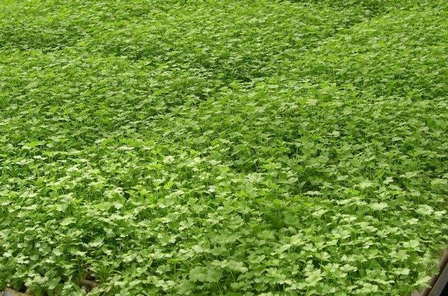 Зелень часто используется в ресторанах, кафе, закусочных. Ее продают на рынках, в супермаркетах и овощных магазинах