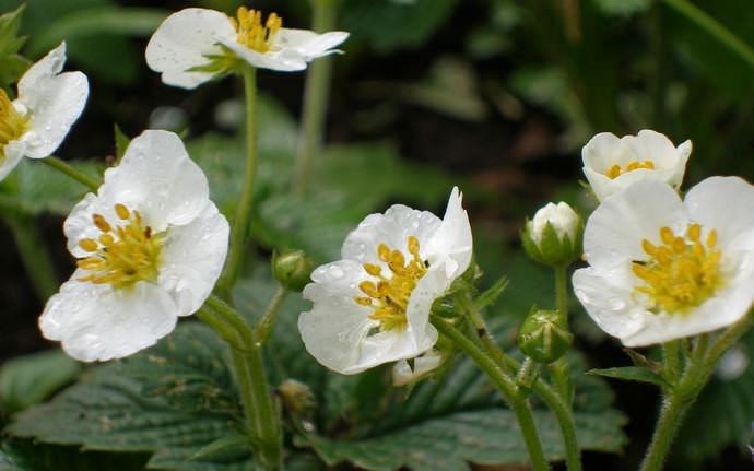 При культивировании растения в открытом грунте первую клубнику Дарселект можно собрать в начале лета