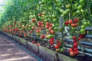 Теплица для высокорослых томатов