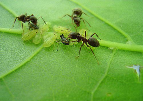 Этот мелкий вредитель попадает в теплицу при помощи обычных садовых муравьёв, которые используют в пищу продукты жизнедеятельности тлей. Поэтому первое что нужно делать при обнаружении вредителя в теплице – избавиться от муравьёв