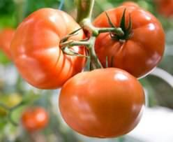Голландские виды томатов отличаются высокой урожайностью
