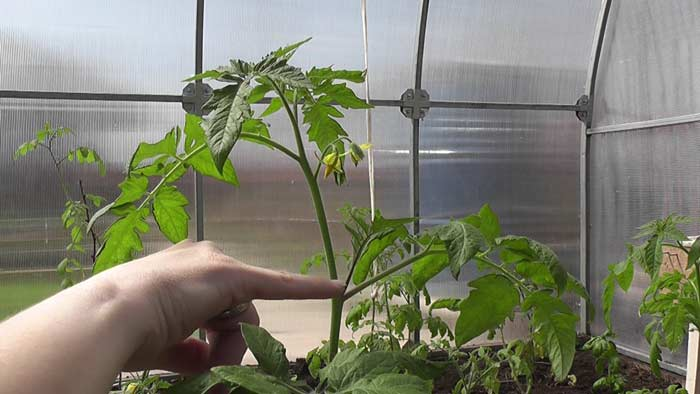 Обрезка растений выполняется в строгом соответствии с рекомендацией и только тогда, когда этого требует технология выращивания помидор в теплице