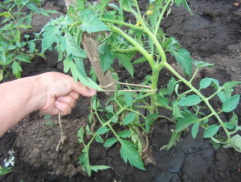 Возле всех помидорных кустов следует вбить небольшие колышки, к которым и привязывается посредством верёвки стебель растения. В процессе подвязывания следует не перетягивать стебли очень сильно, так как это может привести к гибели растения