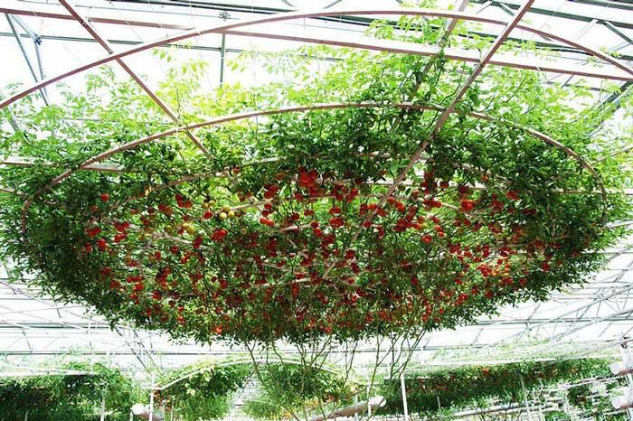 Помидоры «Спрут» отличаются тем, что способны давать рекордный урожай