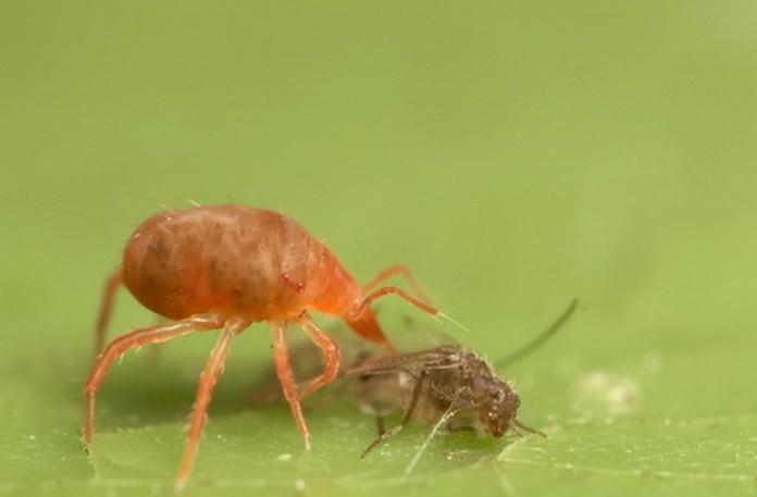 Фитосейулюс – хищный клещ, поедающий паутинных