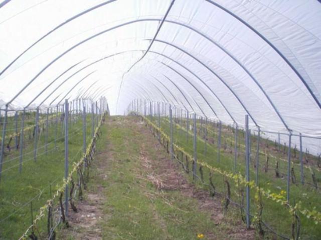 Если вы выращиваете растение в условиях средней полосы России, высаживать виноград в открытый грунт попросту бесполезно