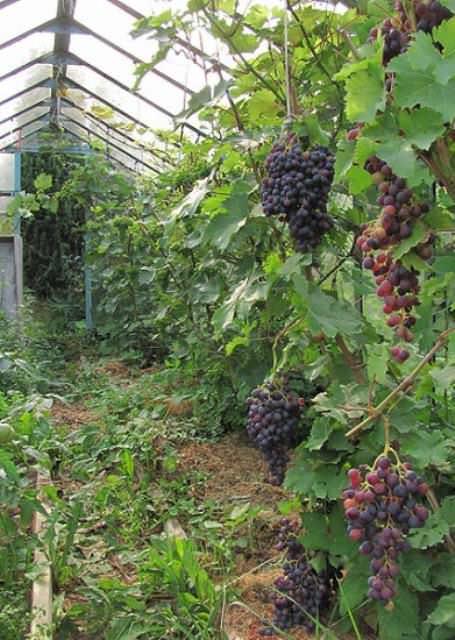 Тепличный виноград требует тщательного полива