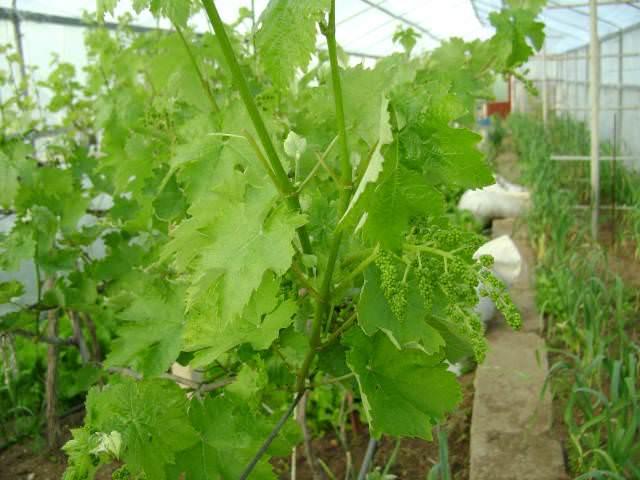 Посадить виноград в теплице не составит труда. Непременное условие – хороший дренаж